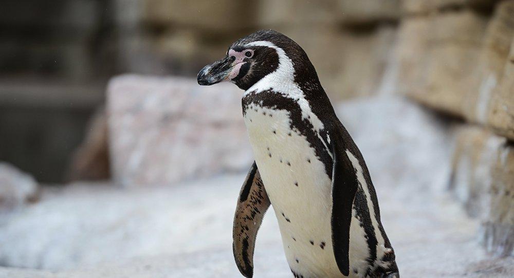 Птенцы редких пингвинов Гумбольдта появились в Московском зоопарке