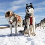 Катание на собачьих упряжках зимой в Карелии
