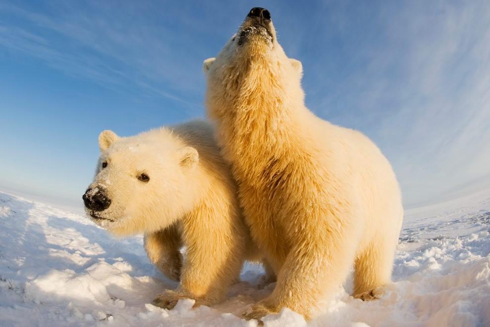 Питомник для белых медведей появится в Подмосковье