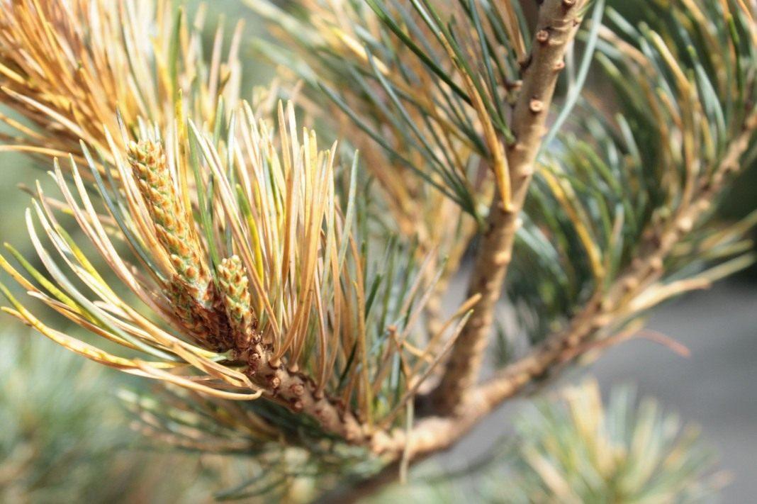 Применение живицы (смолы хвойных деревьев)