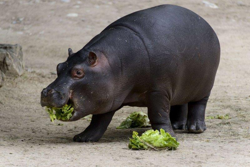 В московском зоопарке появится бегемот
